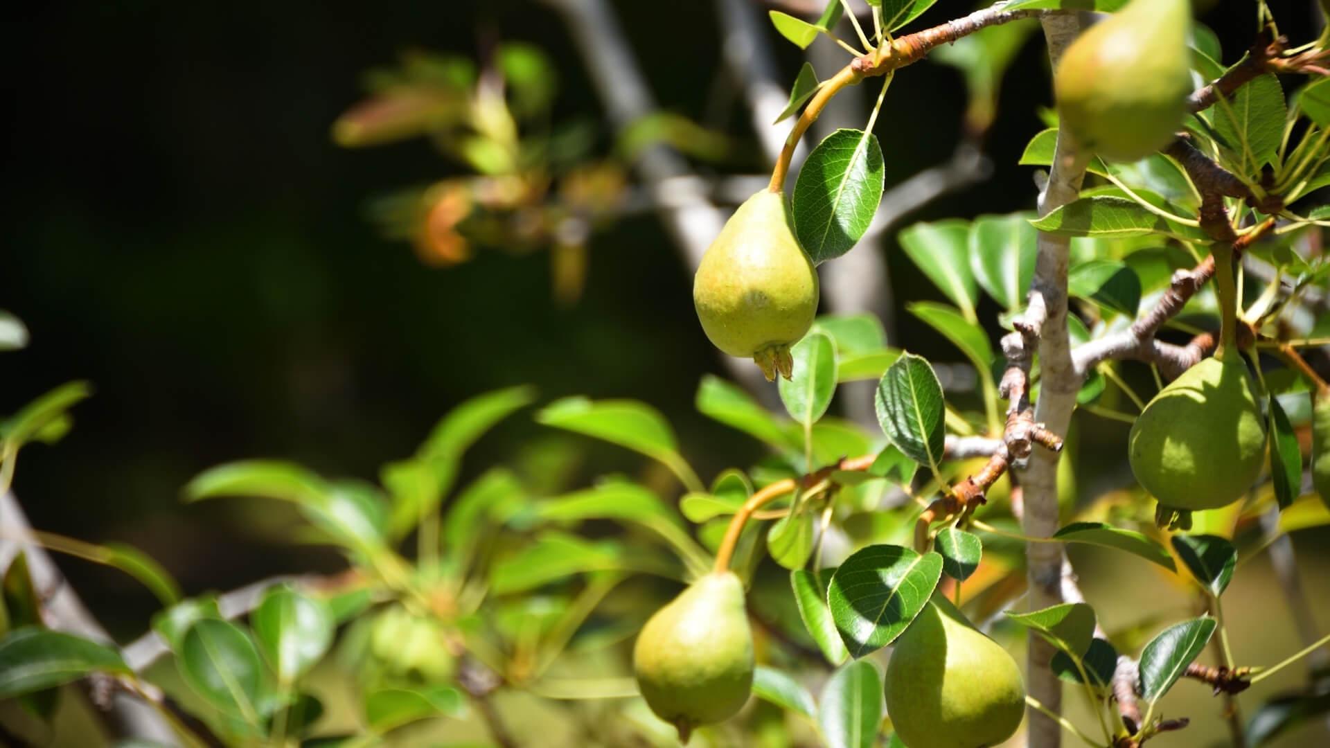 maturazione delle pere, frutto climaterico