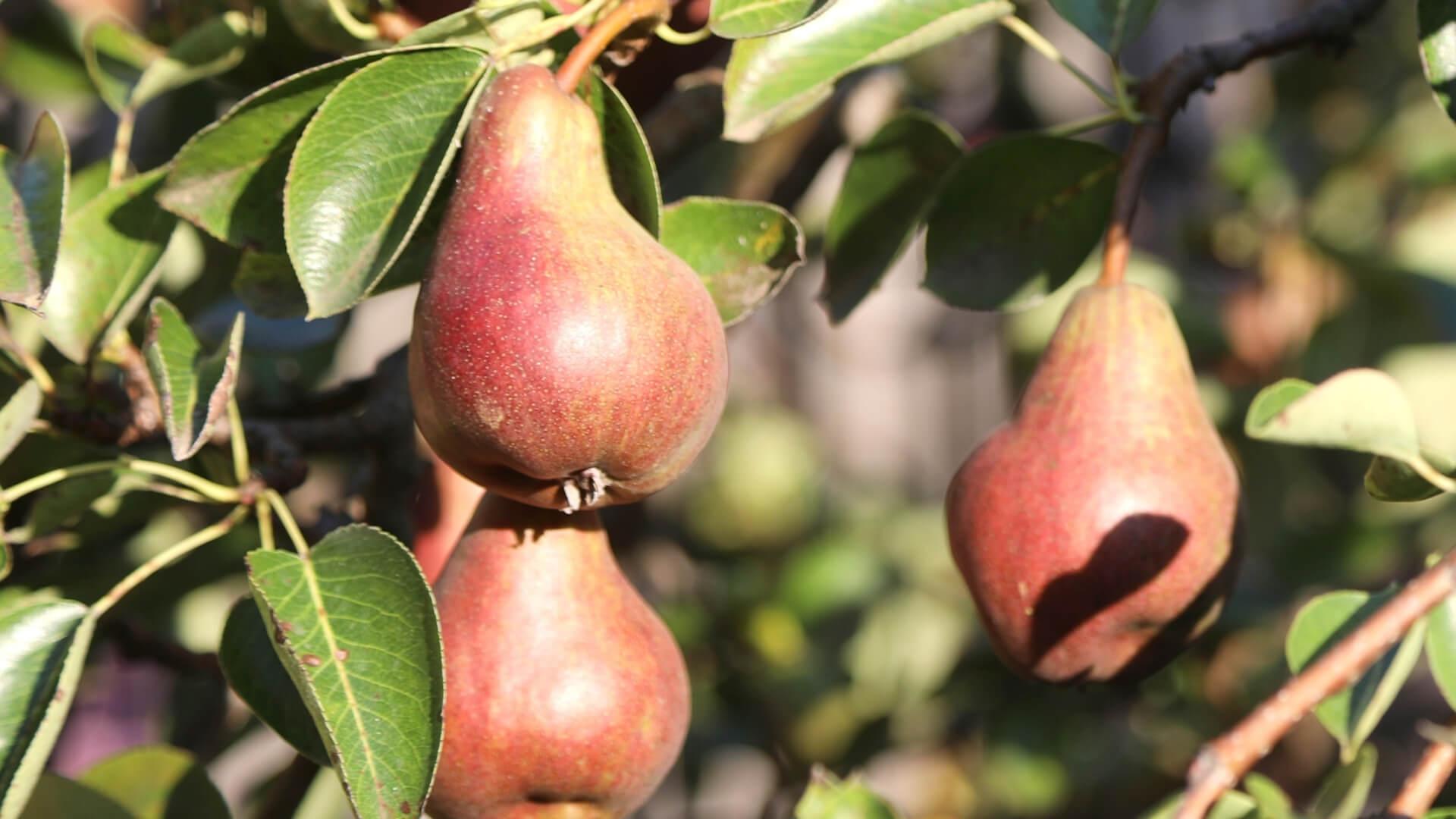 Pera Falstaff, la pera rossa da opera