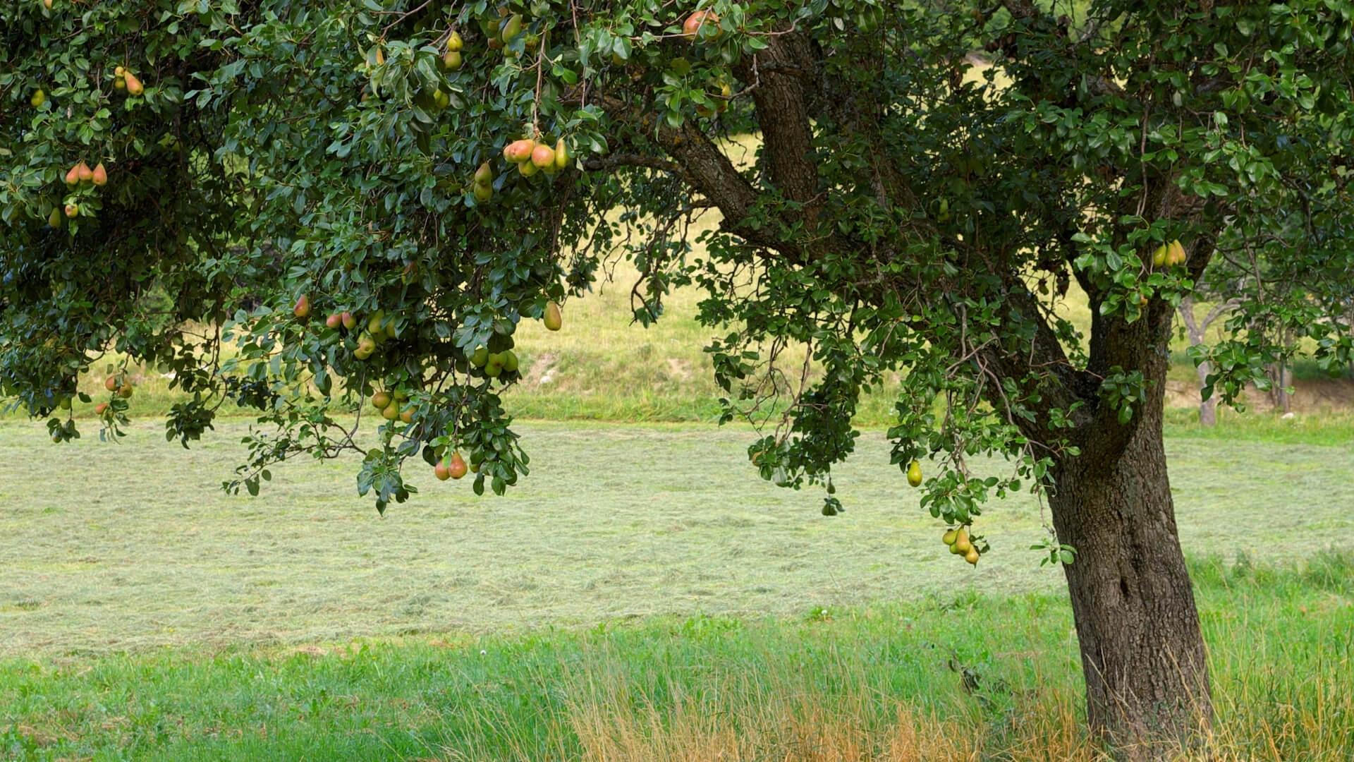 albero di pere (pero): come coltivarlo