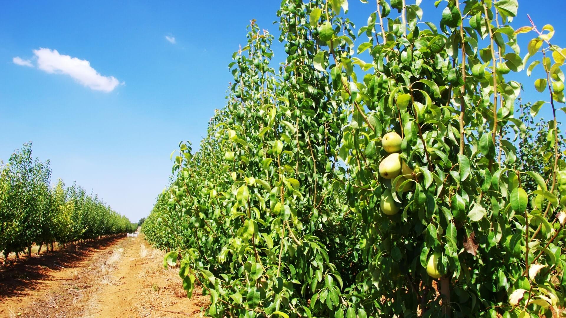 coltivazione di pere italiane IGP