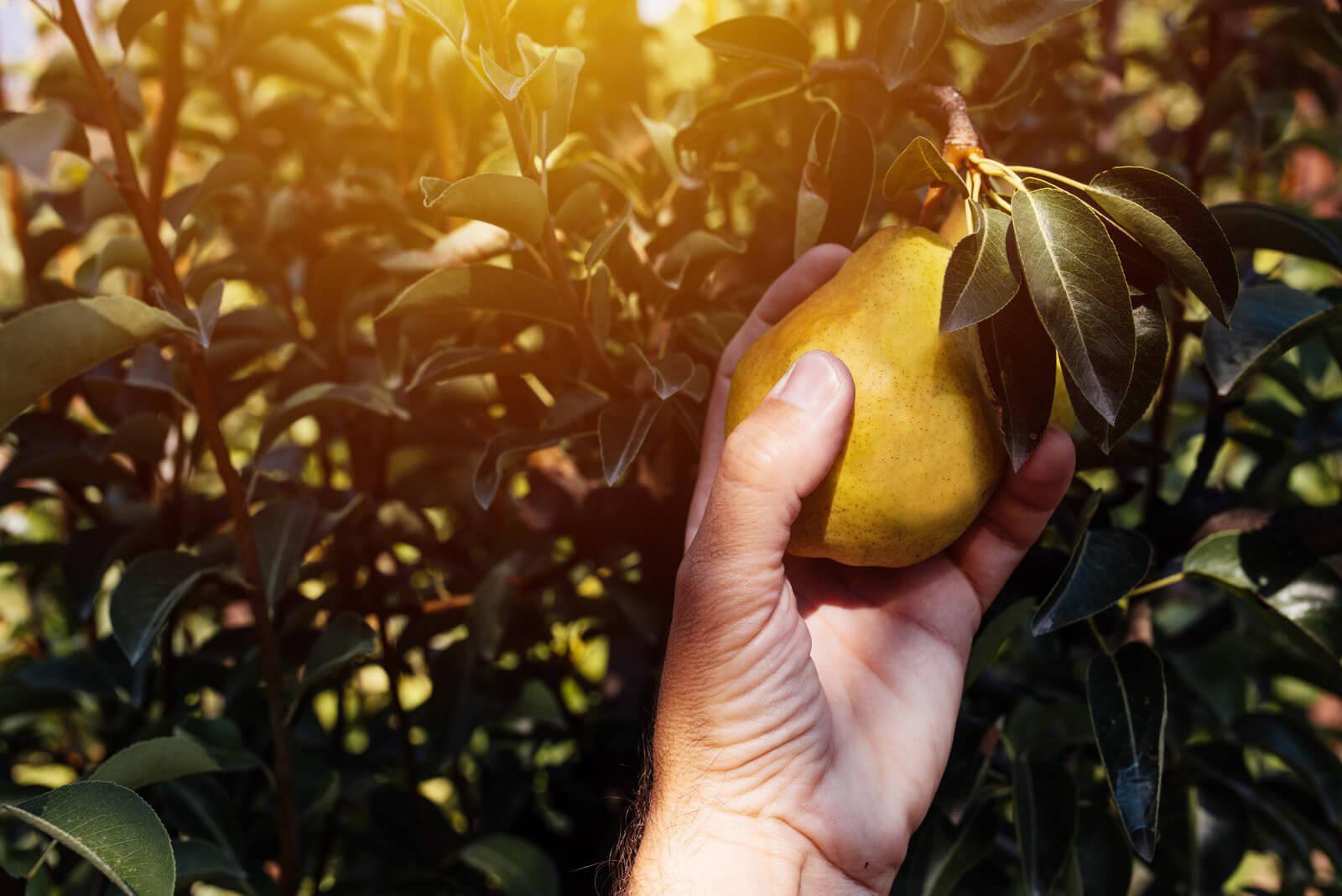 come raccogliere le pere dal ramo
