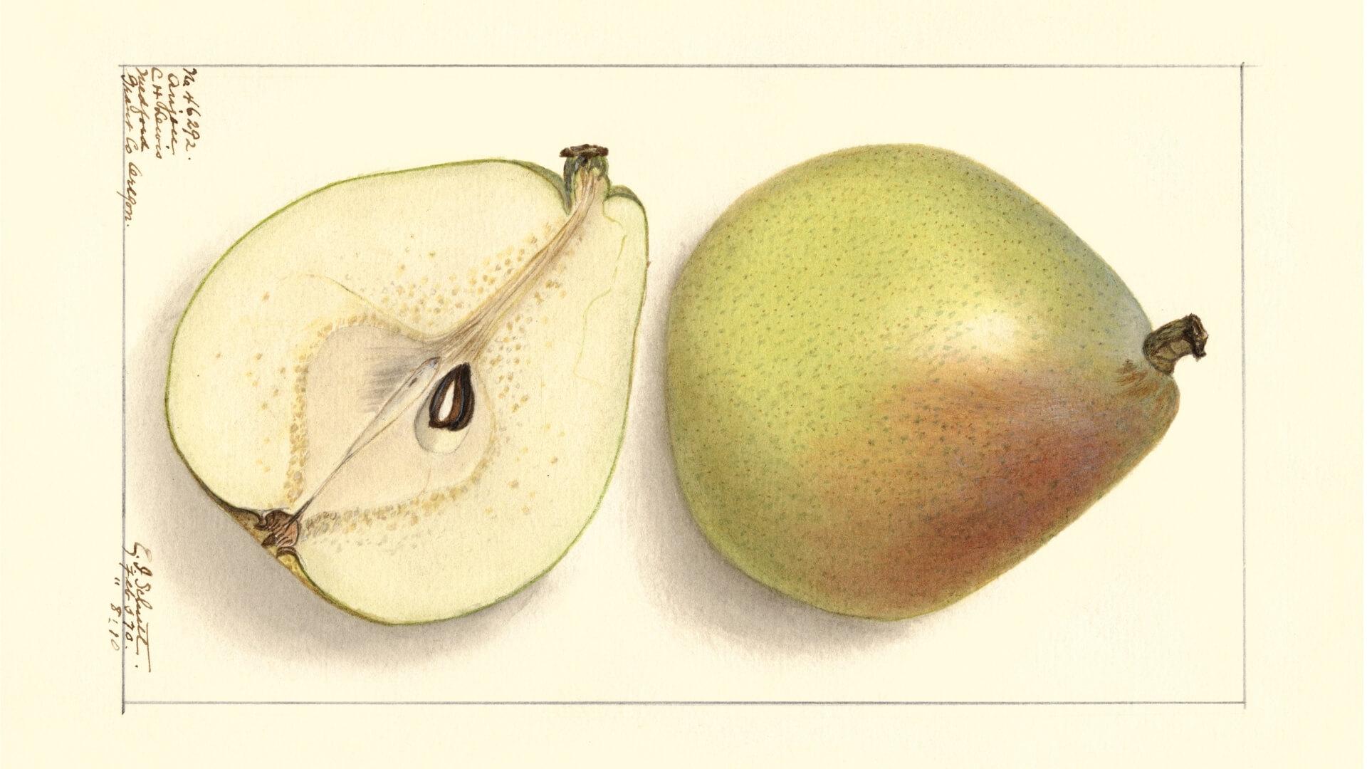 qualità di pere rare e antiche