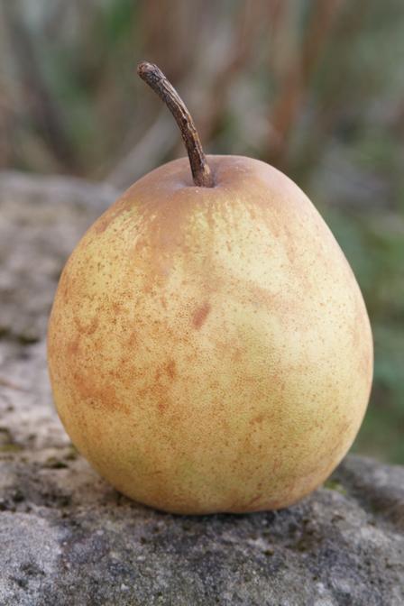 Pera Passacrassana, la pera tonda invernale
