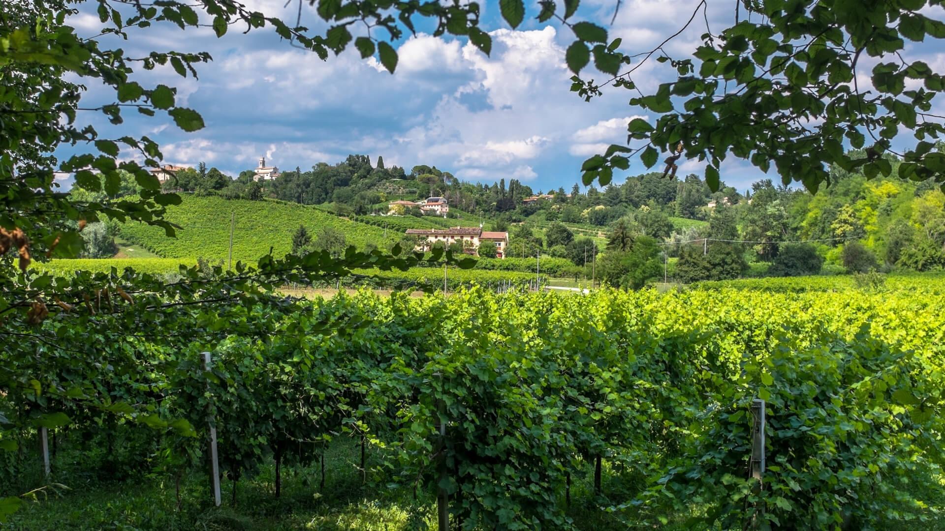 pere venete tipiche: coltivazione di pere in Veneto